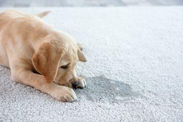 Cute puppy lying